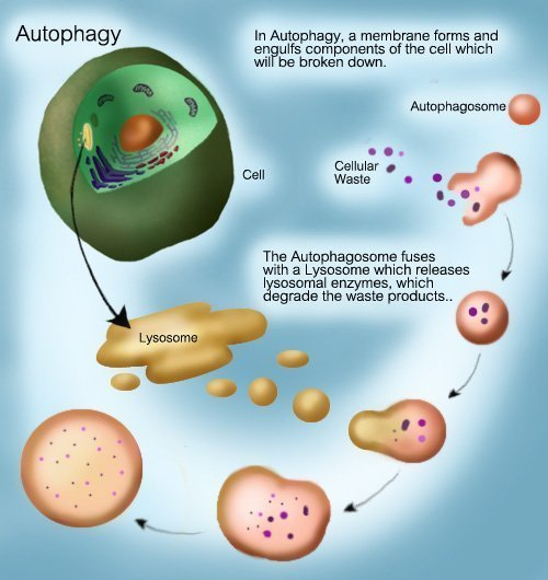 Fasting and Autophagy - Fasting 25 - Intensive Dietary